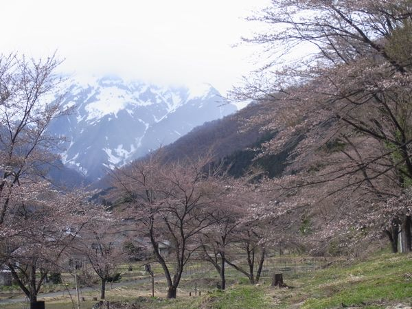 谷川温泉の桜は4/10に開花しそうです!