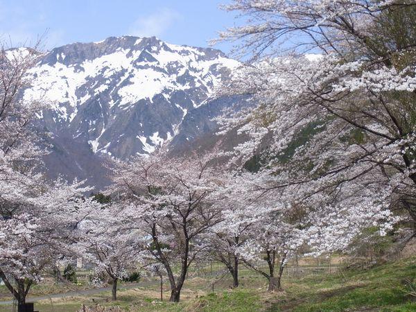 谷川温泉の桜がほぼ満開になりました!