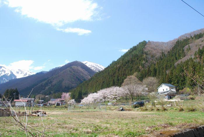 谷川温泉の桜が満開です。