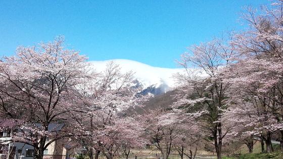谷川の桜が満開になりました。